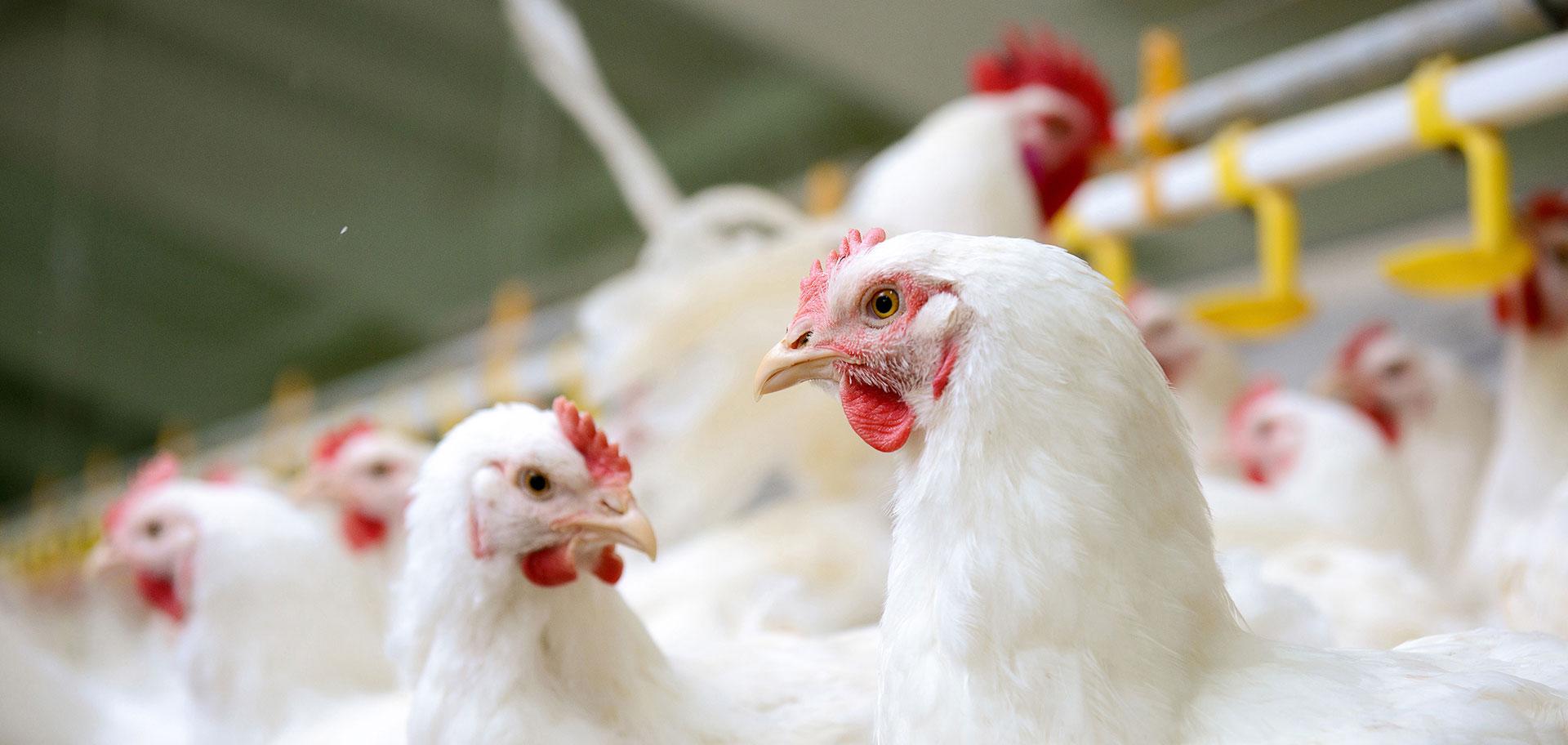 chicken-slider